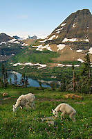 Mountain Goat (Oreamnos americanus)nanny with kid.  Glacier National Park, Montana.  Summer.