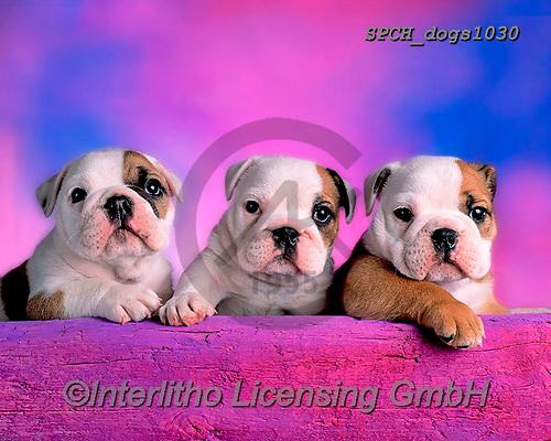 Xavier, ANIMALS, REALISTISCHE TIERE, ANIMALES REALISTICOS, dogs, photos+++++,SPCHDOGS1030,#a#, EVERYDAY