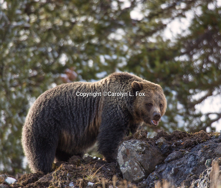 A grizzly bear hangs out in Ice Box Canyon in Yellowstone National Park.