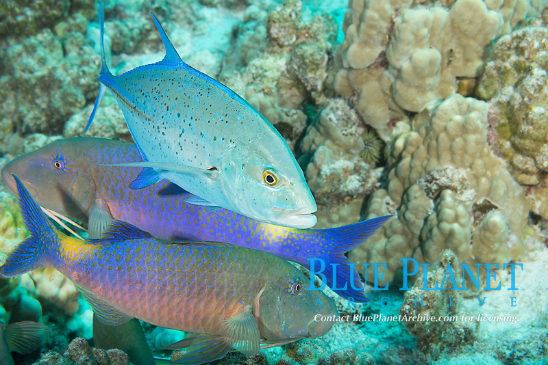 hunting coalition of blue goatfish or yellowsaddle goatfish, Parupeneus cyclostomus, and bluefin trevally or bluefin jack, Caranx melampygus, Kohanaiki, North Kona, Hawaii (the Big Island), USA (Central Pacific Ocean)