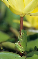 Green Treefrog, Hyla cinerea, adult on yellow waterlily, Welder Wildlife Refuge, Sinton, Texas, USA