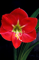A bright red amaryllis blossom and foliage