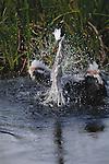 Great blue heron splashing in water, Florida