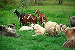 Steam Valley Fiber Farm..Angora Sheep, Nubian goats and Maremma Herding Dog
