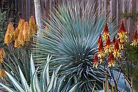 Yucca rostrata'Saphire Skies' Blue Beaked Yucca in Gerhard Bock garden with Aloe wickensii