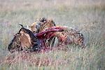 Spotted Hyenas (Crocuta crocuta) killing a White-bearded Wildebeest (Connochaetes taurinus albojubatus). Ol Kinyei Conservancy, Masai Mara Game Reserve, Kenya.