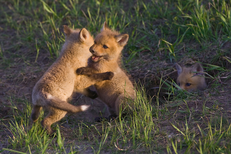 Pair of fox kits wrestle while a sibling looks on from just inside the den