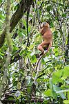 Maroon Langur or Red Leaf Monkey (Presbytis rubicunda) in rainforest canopy. Danum Valley, Sabah, Borneo.
