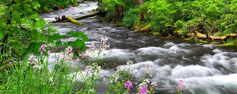 Tanner Creek and Dames Rocket wildflowers. Columbia River Gorge National Scenic Area, Oregon