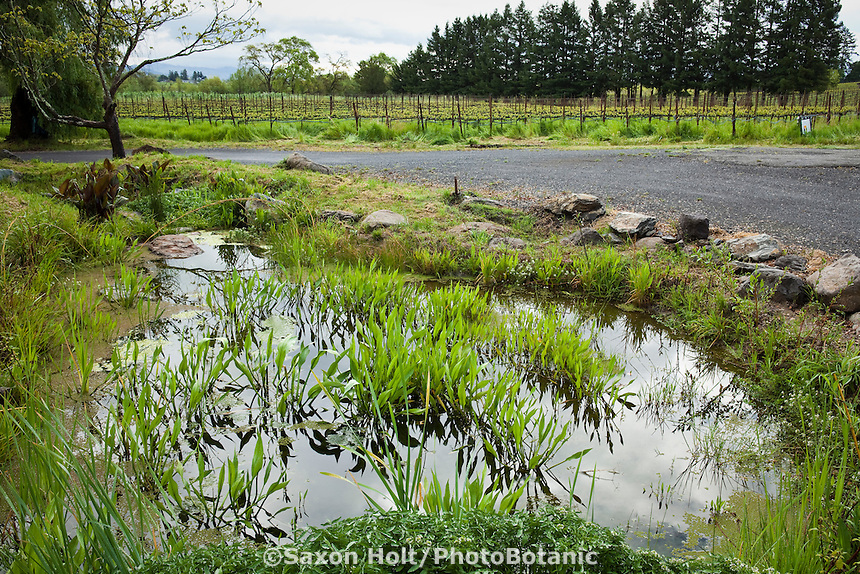 Rain garden bio-swale pond to capture storm water runoff from parking lot in Lynmar Estate sustainable garden