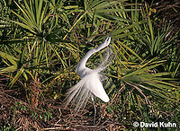 0313-0864  Great Egret Performing Breeding Dance, Displaying Breeding Plumage, Ardea alba [In Sequence with 0313-0864, 0313-0866] © David Kuhn/Dwight Kuhn Photography