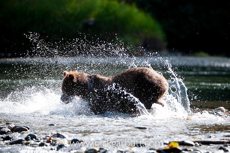 Grizzly Bear (Ursus arctos horribilis) fishing for salmon, Atnarko River, Tweedsmuir Park, British Columbia, Canada