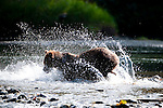 Grizzly Bear (Ursus arctos horribilis) fishing for salmon, Atnarko River, Tweedsmuir Park, British Columbia, Canada