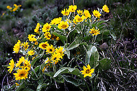 Arrowleaf Balsamroot (Balsamorhiza sagittata) a member of the sunflower tribe. Many Native American groups, including the Nez Perce, Kootenai, Cheyenne, and Salish, utilized the Balsamroot as a food and medicine. Growing lavishly here at the East Entrance to Yellowstone National Park, Wyoming.