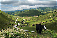 A dark Tibetan yak with a white marking on the forehead. A winding road leads to the faraway mountains.