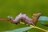 Zickzackspinner, Zickzack-Spinner, Raupe frisst an Weide, Notodontia ziczac, Eligmodonta ziczac, Notodonta ziczac, pebble prominent, caterpillar, Le Bois veiné, Chenille, Zahnspinner, Notodontidae, prominents