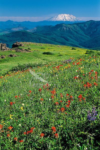 Wildflowers and Mount St. Helens, WA, Cascade Mountains, June