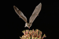 Lesser Long-nosed Bat, Leptonycteris curasoae, adult in flight at night feeding on Agave blossom (Agave spp.),Tucson, Arizona, USA