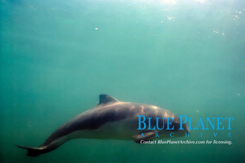 harbour porpoise, common porpoise, Phocoena phocoena, Boston Harbor, Massachusetts, USA, Atlantic Ocean