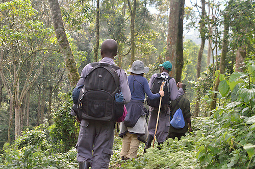 The path to find and encounter gorillas  in the jungle of Uganda's Bwindi  Impenetrable Forest, one of Africa's rare, remaining gorilla habitats, and a UNESCO World Heritage Site.