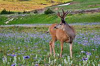 Mule Deer (Odocoileus hemionus) buck in wildflowers (mostly wild asters).  Glacier National Park, Montana.  Summer.