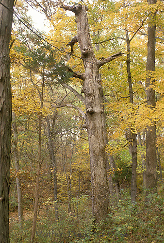 """Fall forest with """"snag"""" or old dead tree important for wild animals and birds"""