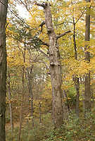 "Fall forest with ""snag"" or old dead tree important for wild animals and birds"
