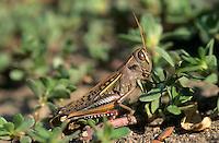 Heuschrecke, Weibchen, Euprepocnemis plorans, grashopper, female