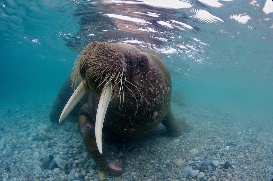 Walrus (Odobenus rosmarus rosmarus) Svalbard, Norway