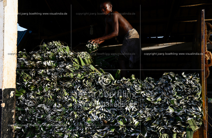 TANZANIA Tanga, Sisal farming and industry, Katani Ltd., processing of leaves to fibre / TANSANIA Tanga, Sisal Industrie, Katani Ltd., Gewinnung der Faser aus den Blaettern der Sisalpflanze