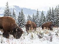 Bison graze in autumn snow.