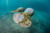 Florida Manatee, Trichechus manatus latirostris, A manatee mother and her young calf seek refuge in the warm, calm waters of the Three Sisters Springs. Crystal River, Florida.