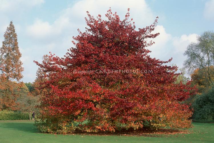 Sweetgum tree in autumn color showing entire tree Liquidambar styraciflua 'Worplesden'