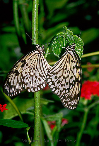 Danadae Idea Jasonia- Butterfly of India and the Orient-mating
