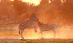 Zebras fighting during sunrise by Torie Hilley