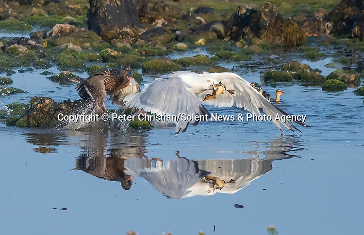Pictured: A gull steals a duckling from its mother after suddenly swooping on the family.   The large-winged gull pounces on the unsuspecting birds and grabs the small duckling in its mouth.<br /> <br /> The mother tries to protect her brood and puts up a fight but the gull eventually flees the shoreline with her baby.   Amateur photographer Peter Christian captured the pictures after spotting a 'commotion' between the herring gull and the mallard ducks in Langness - a peninsula near the Isle of Man.   SEE OUR COPY FOR DETAILS<br /> <br /> Please byline: Peter Christian/Solent News<br /> <br /> © Peter Christian/Solent News & Photo Agency<br /> UK +44 (0) 2380 458800