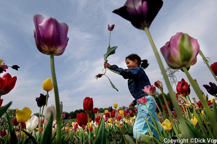 photo: ©Dick Vos.Marknesse, 13-05-2006..De Tulpenpluktuin.De dag voor moederdag plukt een meisje tulpen in de 'Tulpenpluktuin' in Marknesse.