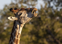 A giraffe chews old bones for their calcium. This behavior is called osteophagia.