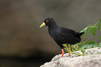The Black Crake, Amaurornis flavirostra, is a waterbird in the rail and crake family Rallidae.