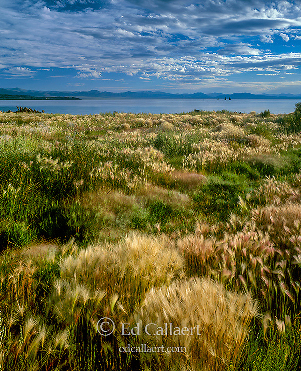 Foxtail Barley, Mono Lake, Mono Basin National Forest Scenic Area, Inyo National Forest, California