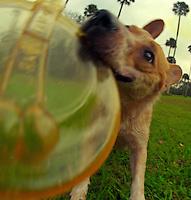 Layla, an Australian Cattle Dog, or Red Heeler, plays with her frisbee near Daytona Beach, FL.  (Photo by Brian Cleary/www.bcpix.com)