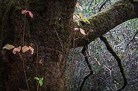 A vine, with green and orange leaves, against a moss covered tree in the Redwood Regional Park.  Oakland, CA.