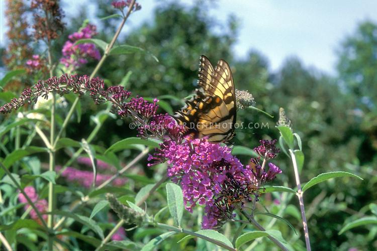 Butterfly (Eastern Swallowtail) on Buddleia davidii Butterfly bush Buddleja flowers