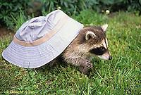 MA25-188z  Raccoon - young raccoon exploring - Procyon lotor