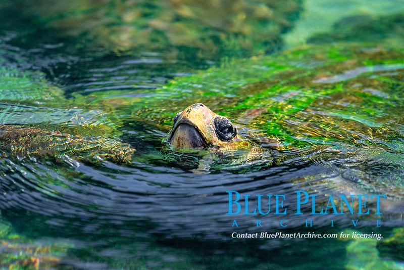 loggerhead turtle, Caretta caretta, San Diego, California