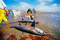 Gill net fishermen clean pelagic thresher sharks, Alopias pelagicus, on shore, Huatabampo, Mexico, Sea of Cortez, Pacific Ocean