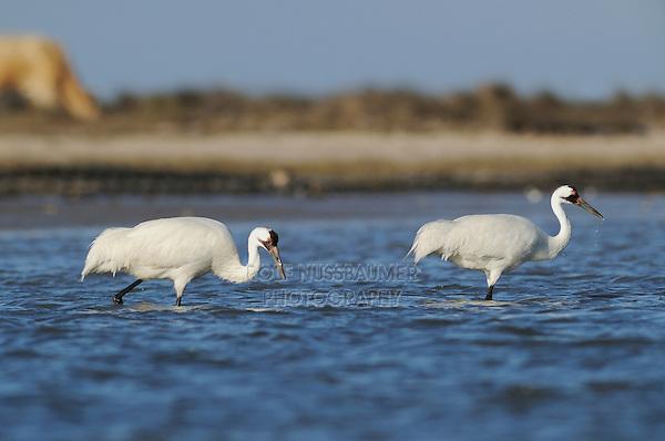 Whooping Crane (Grus americana), pair, Seadrift, San Antonio Bay, Gulf Intracoastal Waterway, Coastal Bend, Texas Coast, USA