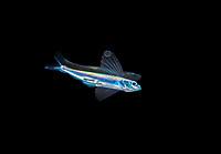 mirrorwing flyingfish, Hirundichthys speculiger, juvenile, at night, offshore, Palm Beach, Florida, USA, Atlantic Ocean