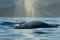 Fin whale (balaenoptera physalus) Gulf of California.The blow and back of a fin whale., Baja California, Mexico, Pacific Ocean