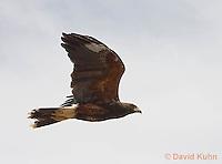 0405-1228  Harris's Hawk in Flight, Harris Hawk (Bay-winged Hawk or Dusky Hawk), Parabuteo unicinctus  © David Kuhn/Dwight Kuhn Photography